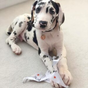 Harlequin Great dane puppies for sale