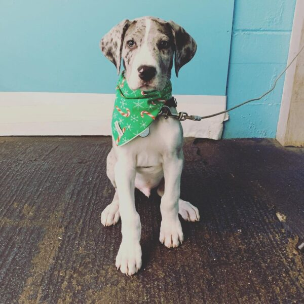 Great Dane Puppies and Dogs