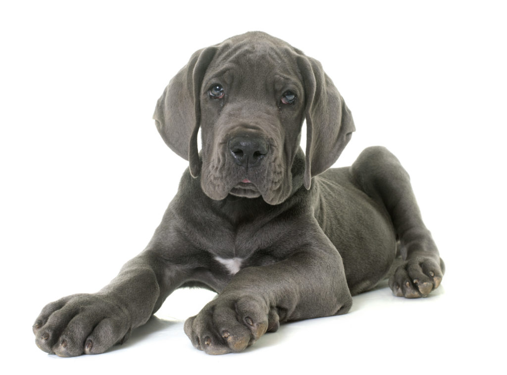 Know Everything About Great Dane Dog breed